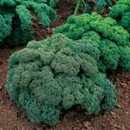 Kale - Dwarf Green Curled - Borecole - 25 grams Bulk Discounts available